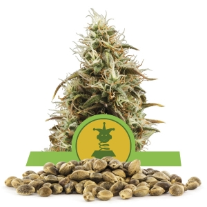 Royal Jack Automatic Bulk Seeds