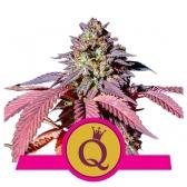 Purple Queen