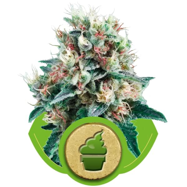 Royal Creamatic Autoflowering Cannabis Seeds