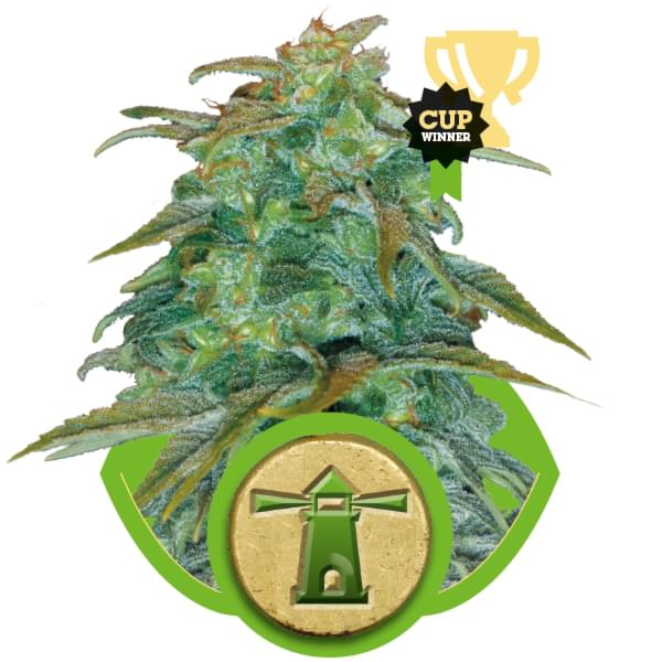 Royal Haze Automatic Autoflowering Cannabis Seeds
