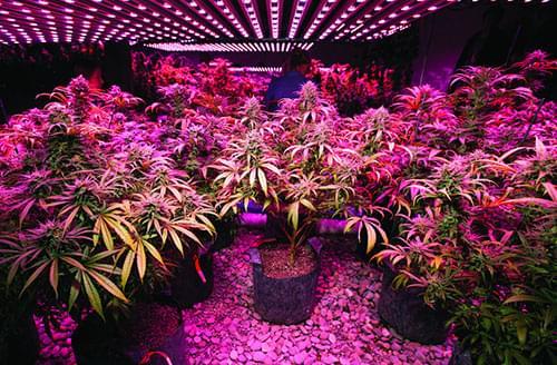 hodowanie marihuany led światła