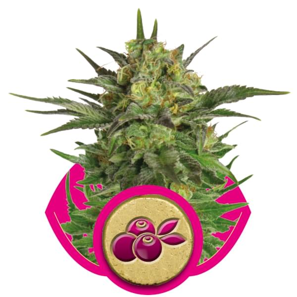 Haze Berry Cannabis Strains