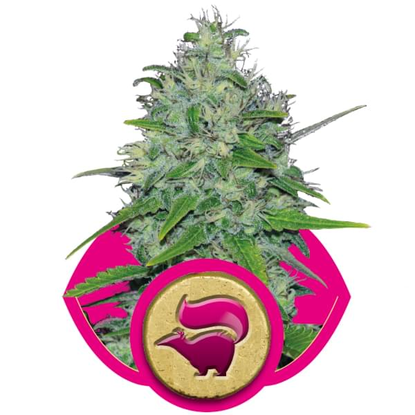 Skunk Cannabis Strains