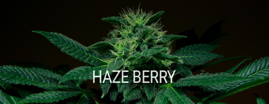 Haze Berry Royal Queen Seeds