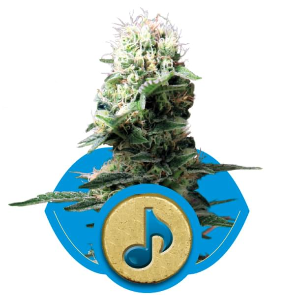 Dance World CBD Marijuana Seeds