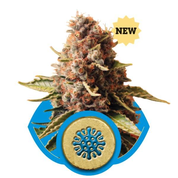 Euphoria CBD Cannabis Seeds