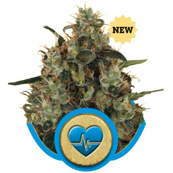 Medical Mass CBD Cannabis Strains