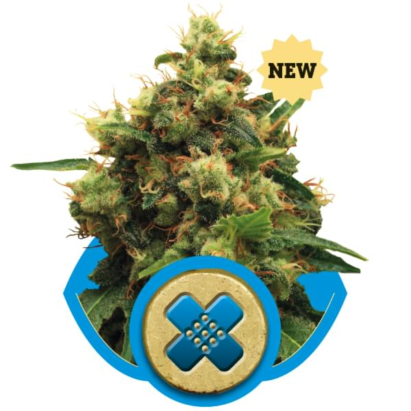Painkiller XL CBD Cannabis Strains