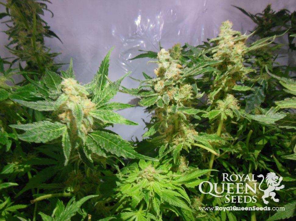 Royal Madre Feminized Cannabis Seeds