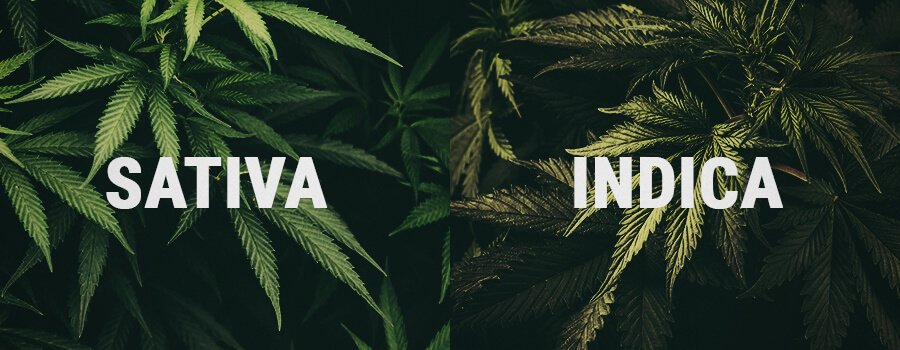 Sativa and Indica Cannabis Plants