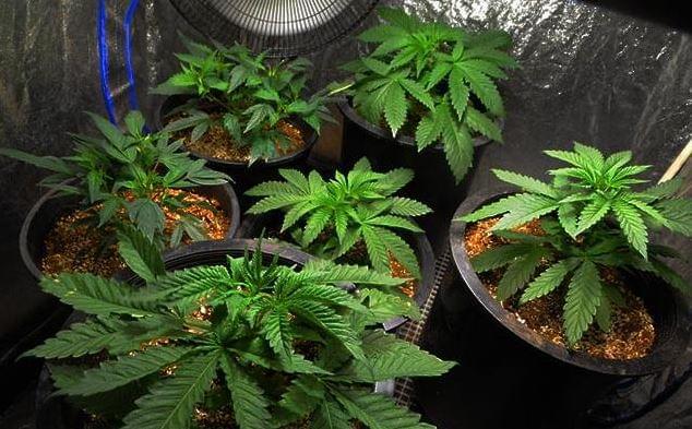 Marihuana rośnie wewnątrz namiotu