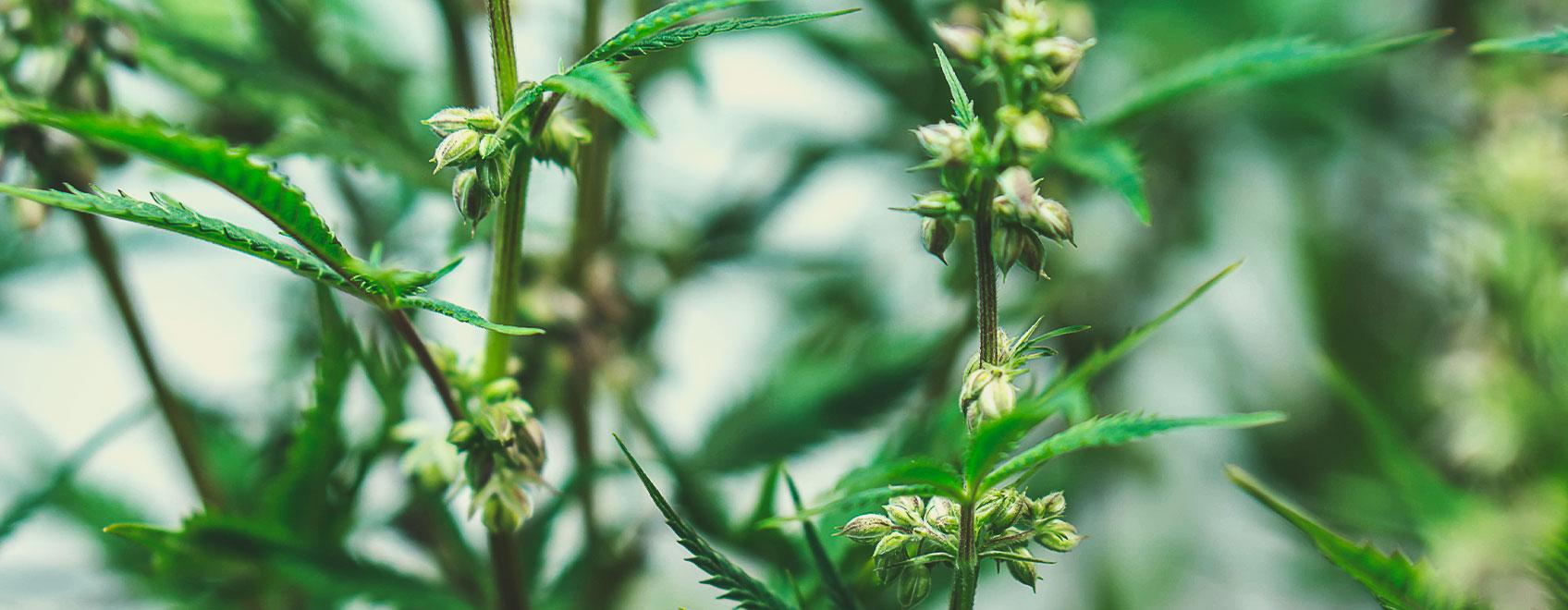 Jak hodowane są nasiona medycznej marihuany?