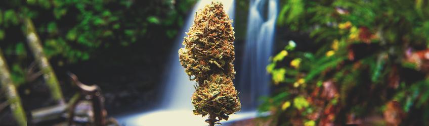 Podział efektów marihuany ze względu na odmianę – indica i sativa