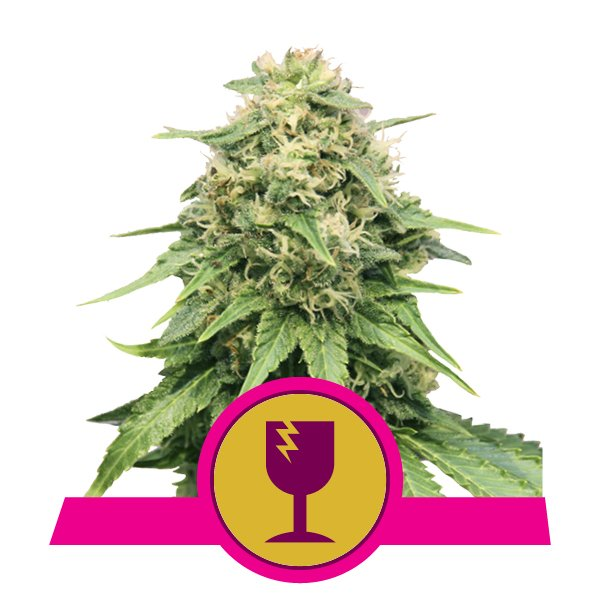 Critical Royal Queen Seeds