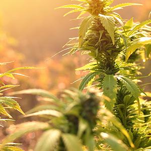 Warm climate cannabis
